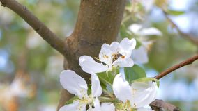 He is sitting on a flower apple the bee slow motion video stock video