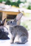 Sitting fluffy gray rabbit. Close-up shallow depth of field, selective focus. Easter bunny concept. Sitting fluffy gray rabbit. Close-up shallow depth of field royalty free stock photography