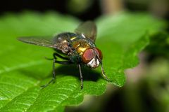 Sitting fly Royalty Free Stock Photo