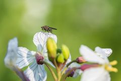 Sitting fly on a white charlock mustard flower.  stock photos