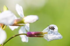 Sitting fly on a white charlock mustard flower.  royalty free stock image