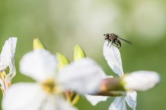 Sitting fly on a white charlock mustard flower.  royalty free stock images