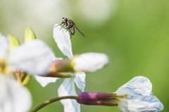 Sitting fly on a white charlock mustard flower.  stock images