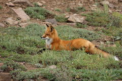 Sitting Fox Royalty Free Stock Images
