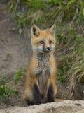 Sitting Fox Stock Photo