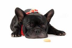 Sitting french bulldog stock photo