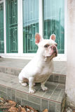 Sitting French bulldog or unaware dog. On the floor Royalty Free Stock Photo