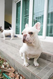 Sitting French bulldog or unaware dog. On the floor Stock Images