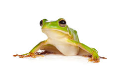 Sitting frog. Sitting white-lipped tree frog or Litoria Infrafrenata isolated on white Royalty Free Stock Image