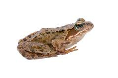 Free Sitting Frog Royalty Free Stock Image - 56448836