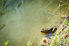 Sitting Frog in the Pond. Thailand royalty free stock image