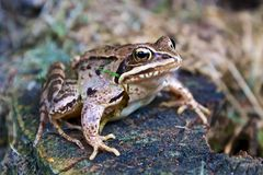 Sitting frog Stock Photography