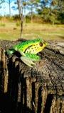 Sitting frog. Frog sitting stump water fake fishing lure bait tackle Royalty Free Stock Image