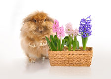 Sitting rabbit and basket of hyacinths Stock Image