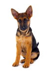 Sitting German Shepard dog. A young German Shepard dog sitting on a white background. Dog has big ears, a collar and is looking downwards at something off screen Stock Images