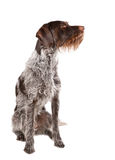 Sitting german wire-haired pointer. With white background Royalty Free Stock Photos