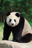 Sitting Giant Panda. A giant panda is sitting on a rock Stock Photo