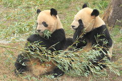 Sitting giant pandas Stock Photos