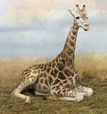 Sitting Giraffe Stock Photography