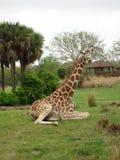 Sitting Giraffe. Giraffe sitting and waiting patiently Stock Photo