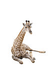 Sitting Giraffe Stock Image
