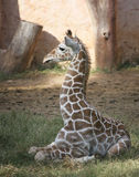 Sitting giraffe Royalty Free Stock Photography
