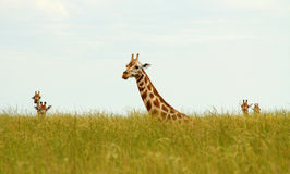 Sitting Giraffes in Long Grass Stock Image