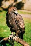 Sitting Golden Eagle Haliaeetus albicilla. Wild Stock Photos