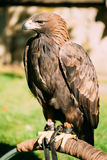 Sitting Golden Eagle Haliaeetus albicilla Wild bird Stock Photos