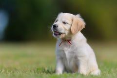 Sitting golden retriever puppy Stock Image