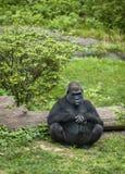 Sitting Gorilla. A large gorilla sitting alone Stock Photos