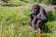 An sitting gorilla Stock Image