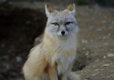 Sitting gray fox stock images
