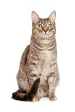 Sitting gray tabby cat Royalty Free Stock Images