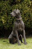 Sitting Great Dane Royalty Free Stock Image