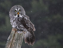 Sitting Great Gray Owl. A Great Grey Owl (Strix nebulosa) perched on a stump with snow falling in the background stock photography