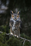 Sitting Great Horned Owl Royalty Free Stock Images