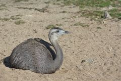 Sitting greater rhea Royalty Free Stock Images
