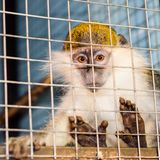 Green monkey looks sadly through the cage lattice Stock Images