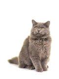 Sitting grey british longhair cat looking up Royalty Free Stock Image