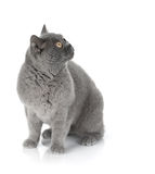 Sitting grey cat Stock Images