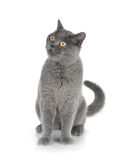 Sitting grey cat Stock Photos