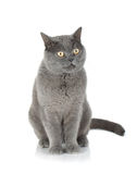 Sitting grey cat Royalty Free Stock Photos