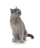 Sitting grey cat looking up Stock Photography