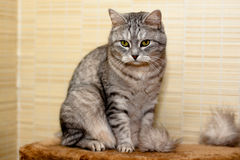 Crey tabby cat Stock Photos