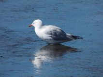 Sitting Gull Royalty Free Stock Photography