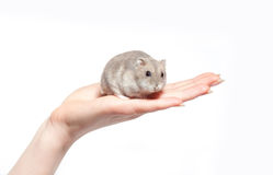 Sitting hamster isolated on white. Sitting hamster isolated in hand on white Stock Photo