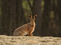 Sitting Hare Stock Image