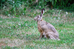 Sitting Hare. Brown Hare sits quietly in the grass stock photography