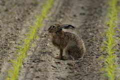 Sitting Hare ( Lepus europaeus ) Stock Photo